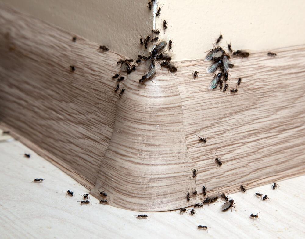 Mieren in kantoor